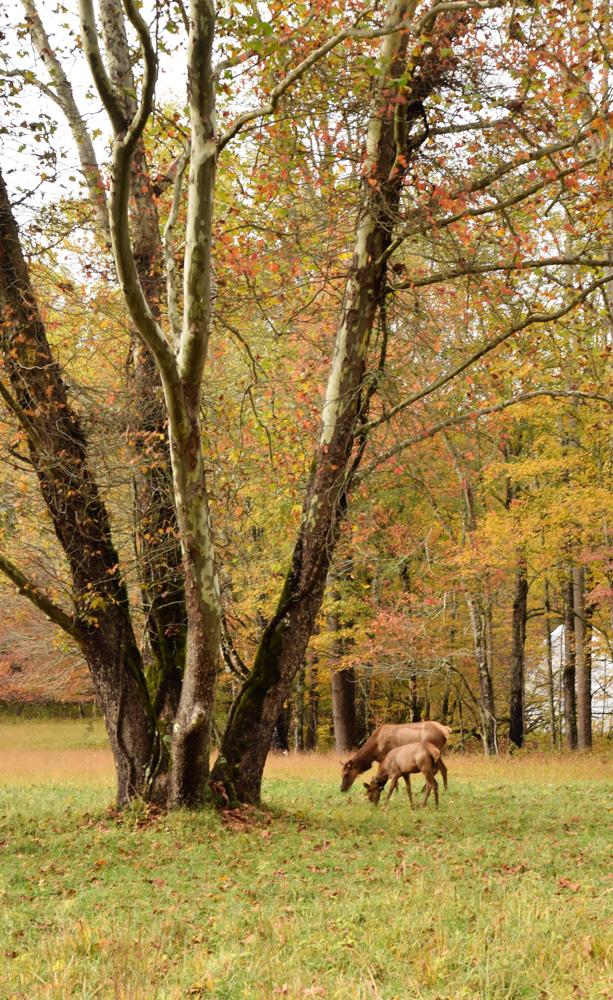 Juvenile Elk