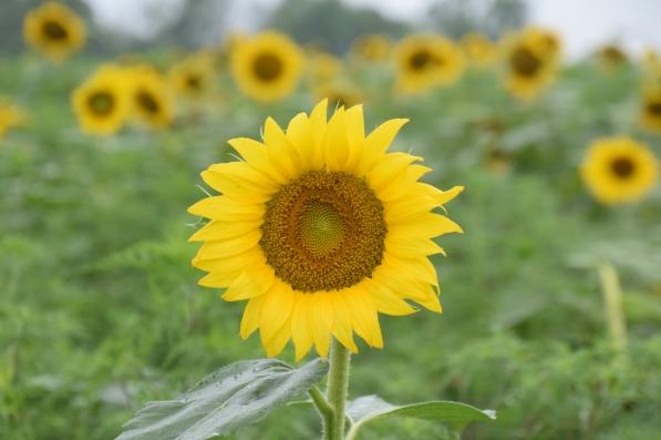sunflowerpraises 2017 (150)